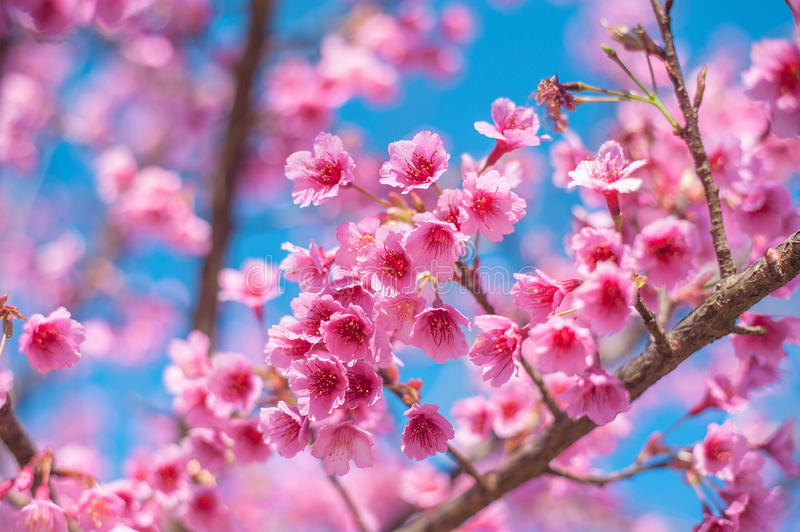 Pink blossoms on the branch with blue sky during spring blooming Branch with pink sakura blossoms and blue sky background. stock photography