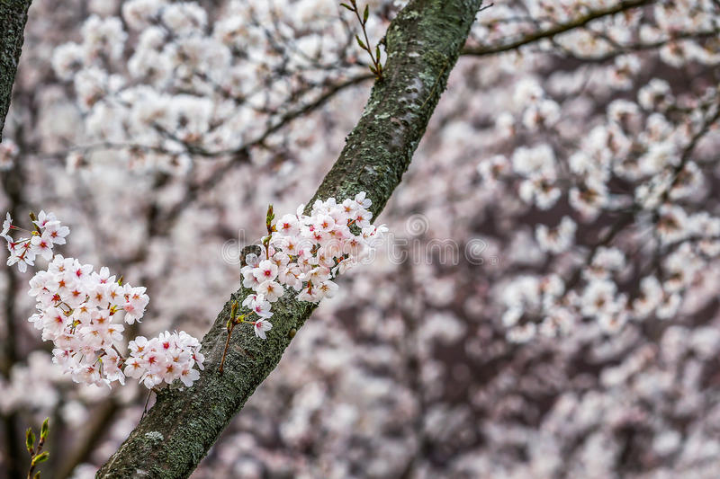 Pink blossoms branch stock photography