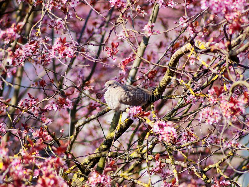 Dove in pink flowering cherry tree spring season nature. Hope. The pink blossoms of a cherry tree with a dove sitting on a branch in the sunlight. Background stock photo