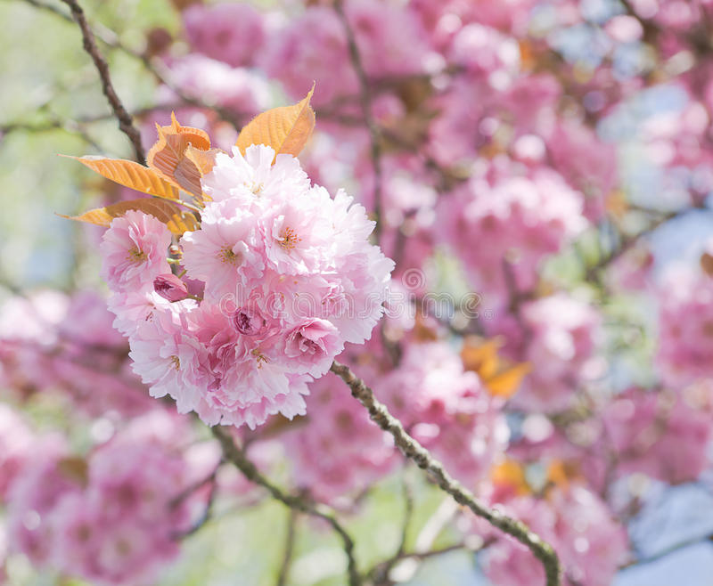 Pink blossoms in springtime. Pink flower blossoms on a tree in springtime stock photography