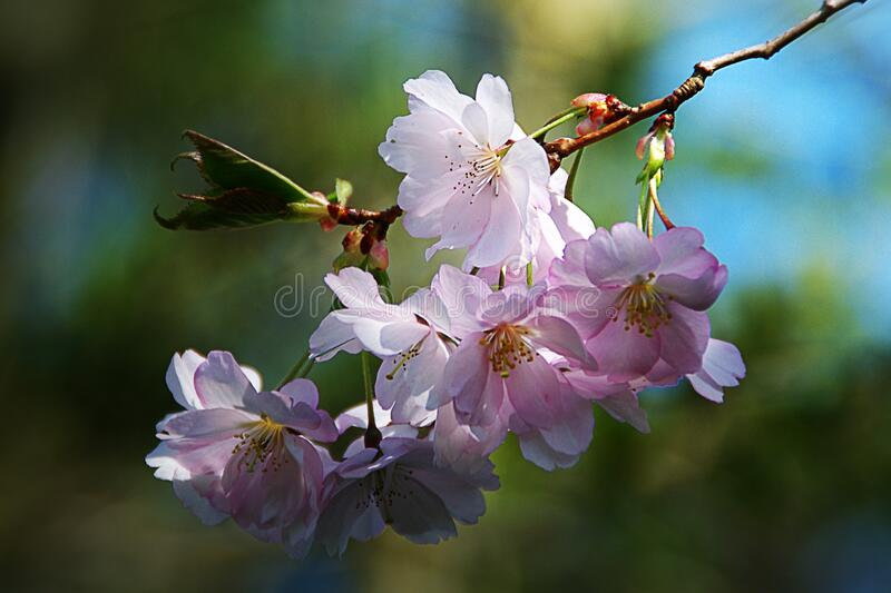 Pink blossoms on tree stock photos
