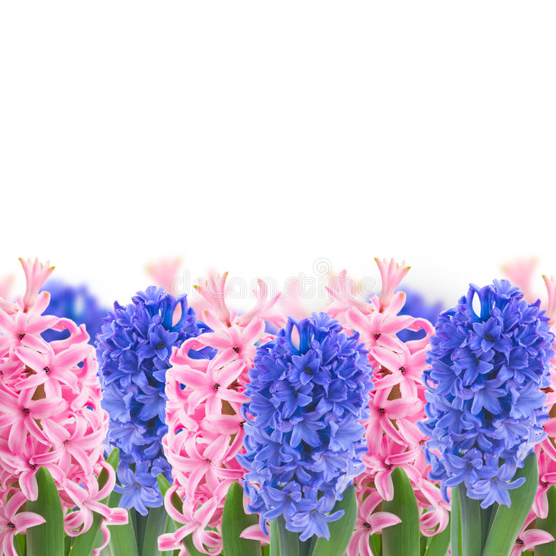download pink and blue hyacinth flowers stock image image