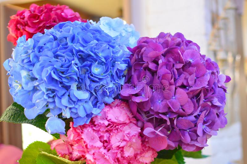 Blue and pink flowers of hydrangea close-up. Natural hydrangea flowers background royalty free stock photos