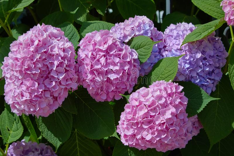 Pink, blue, lilac, violet, purple Hydrangea flower Hydrangea macrophylla  blooming in spring and summer in a garden. royalty free stock photography
