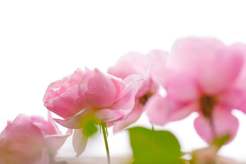 Pink blurred roses isolated royalty free stock photos