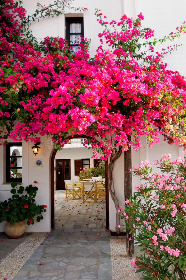 Pink Bougainvillea. Blooming hot pink bougainvillea decorating a white entrance or archway to a stone patio