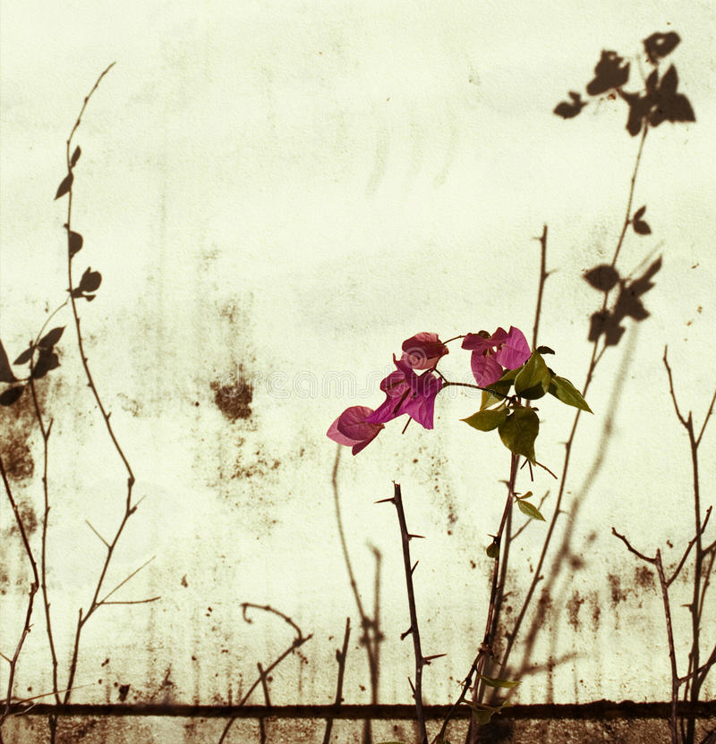 Pink bougainvillea on bleached wall stock photo
