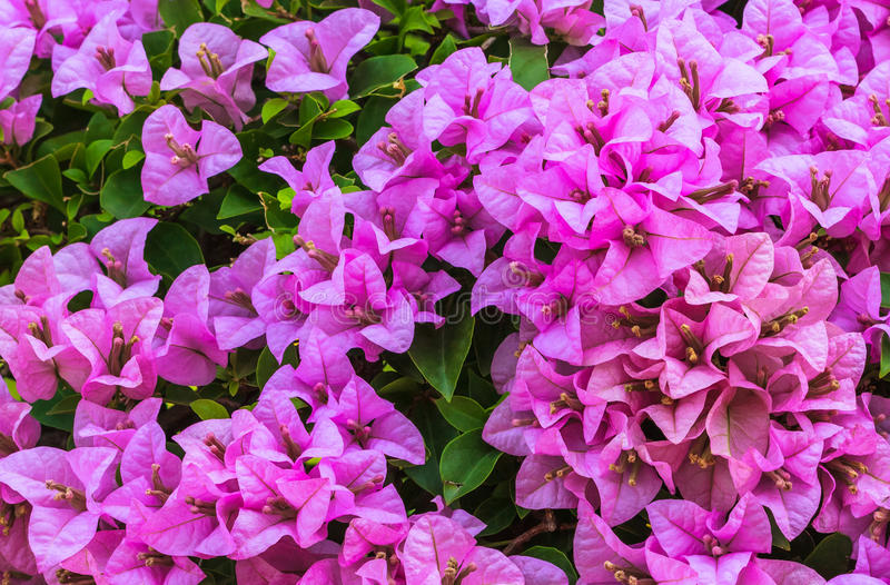Download Pink Bougainvillea, Closeup Stock Photo - Image of blossom, foliage: 33601144