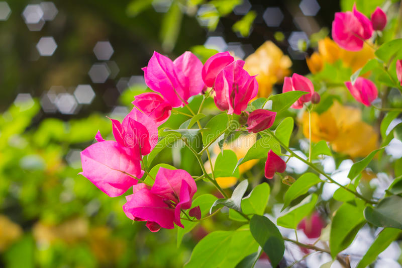Pink bougainvillea flower. Pink bougainvillea blooms in the garden, soft focus stock photography