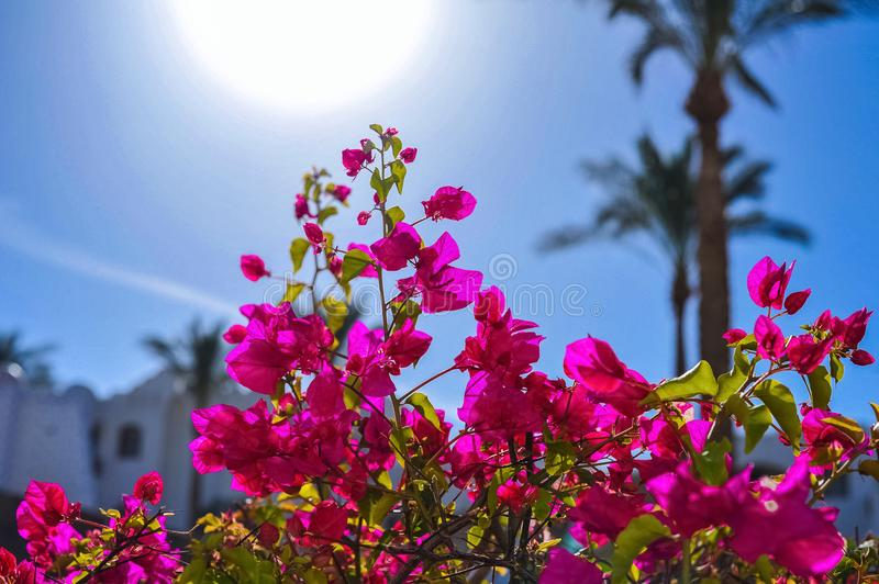 Pink Bougainvillea flowers against the blue sky, the sun and pal stock photography