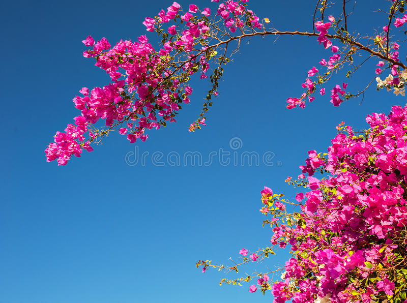 Pink bougainvillea flowers against the sky royalty free stock image