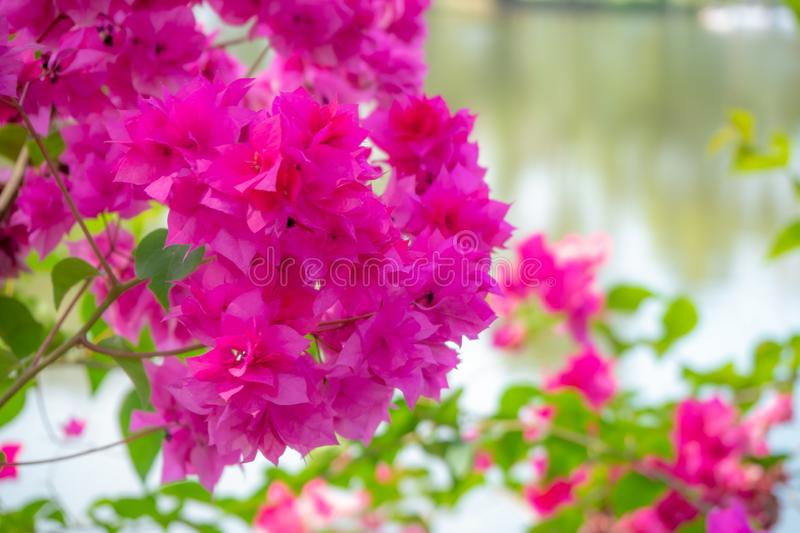 Pink bougainvillea flowers close up with blur background royalty free stock photography