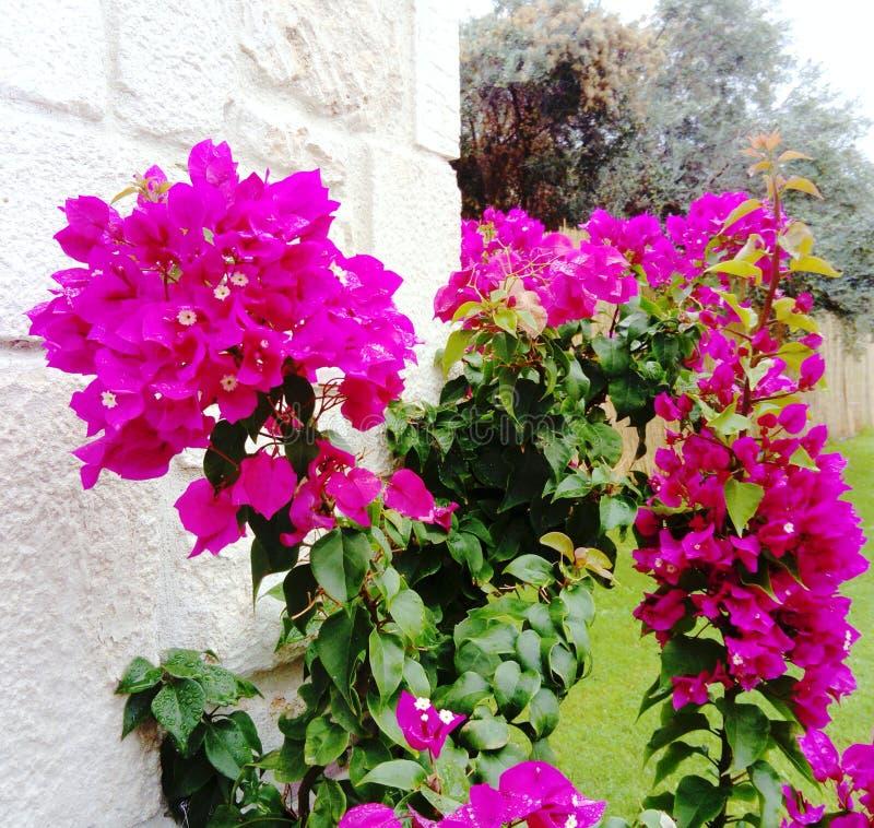 Pink Primavera in the garden stock photo