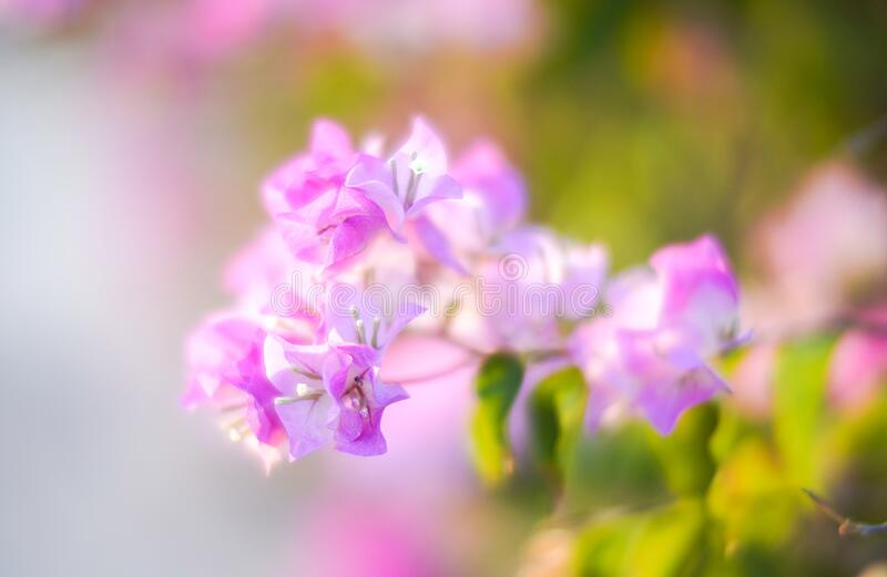 Pink Bougainvillea flowers in garden, Soft Dreaming looks. Pink Bougainvillea flowers in garden, full bloom, Closeup, Soft Dreaming looks royalty free stock photography