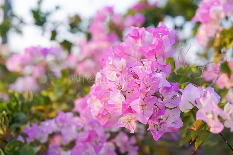 Pink Bougainvillea flowers in garden, Soft Dreaming looks. Pink Bougainvillea flowers in garden, full bloom, Closeup, Soft Dreaming looks stock image