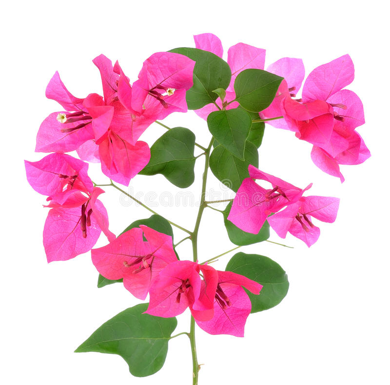 Pink Bougainvillea flowers isolated on white background stock photography