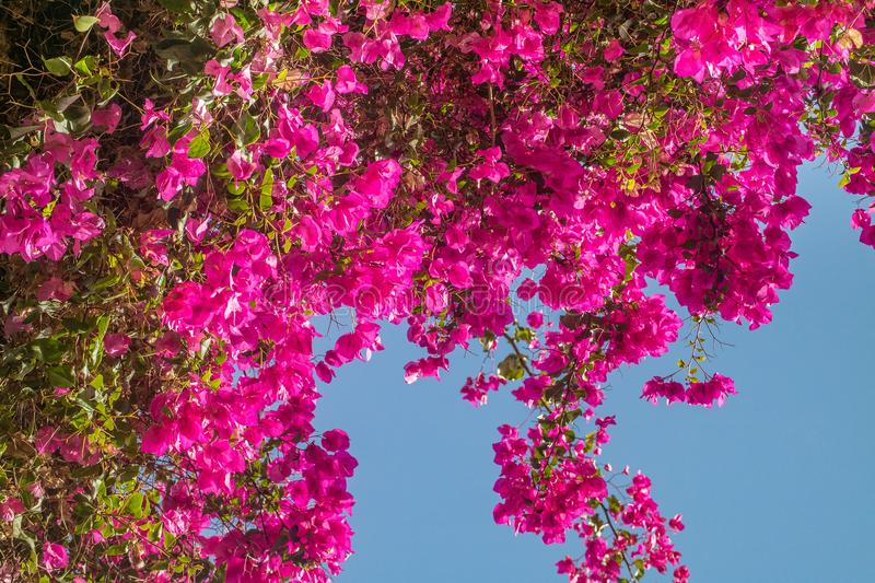 Pink bougainvillea flowers. royalty free stock photo