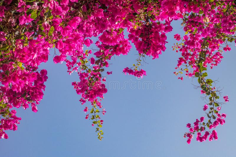 Pink bougainvillea flowers. royalty free stock images