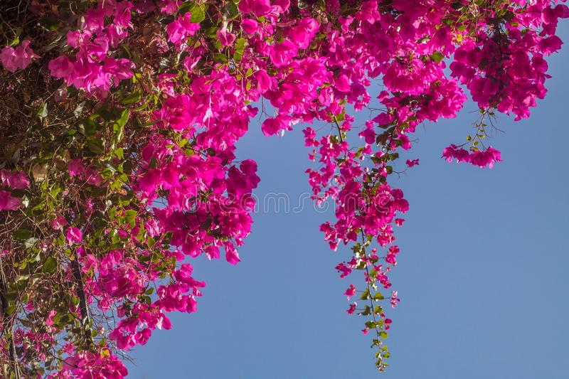 Pink bougainvillea flowers. royalty free stock image