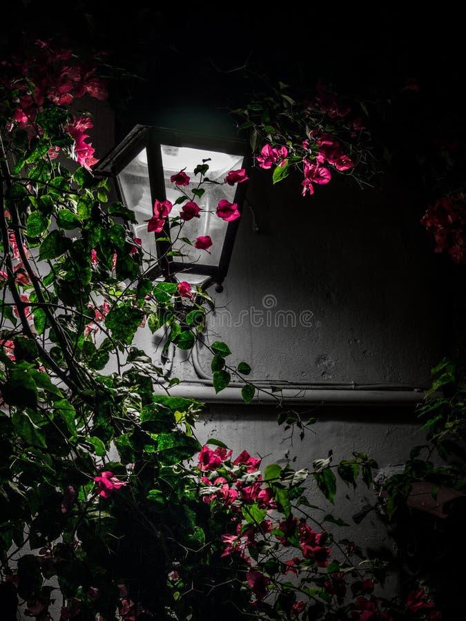 Pink bougainvillea flowers and street lantern - night scene stock image