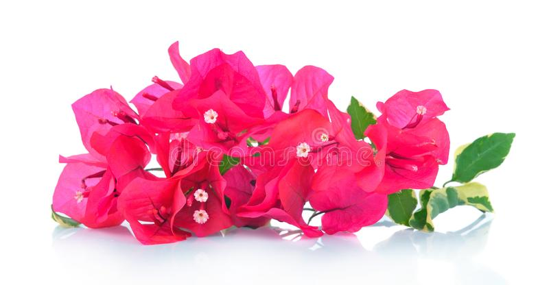 Pink bougainvillea isolated on white background royalty free stock images
