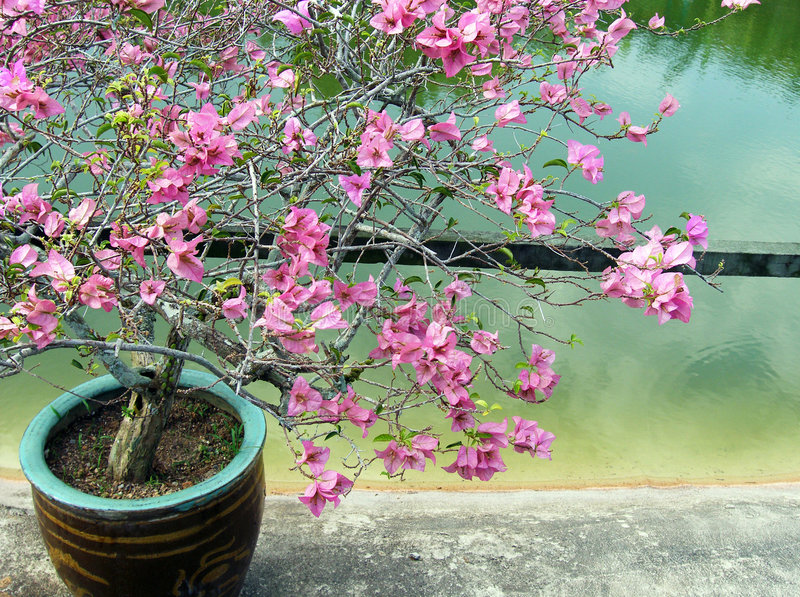 Pink bougainvillea plant potted stock photo