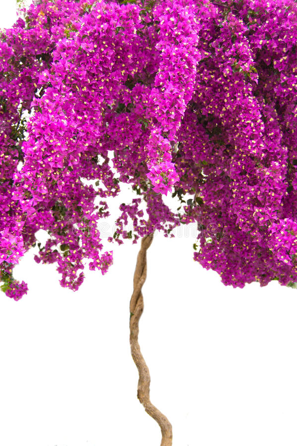 Pink bougainvillea tree on white
