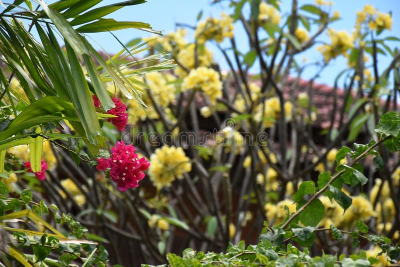 Pink bougainvillea and yellow frangipani in background stock photography