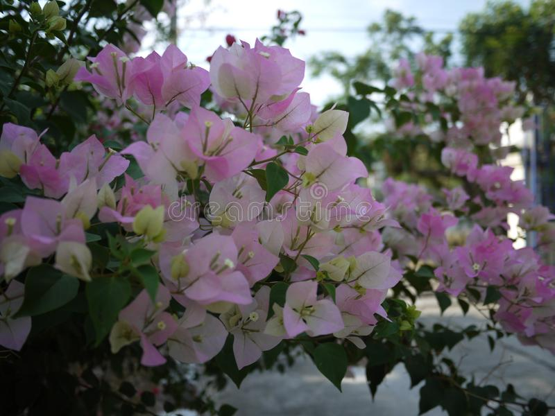 A pink bouquet Bouganvilla flowers are blooming in spring season. stock image