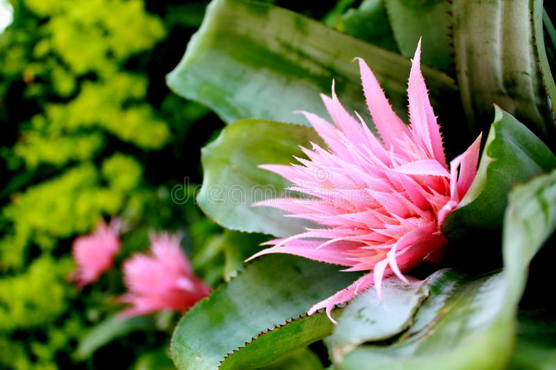 Pink Bromeliad blossom royalty free stock photo