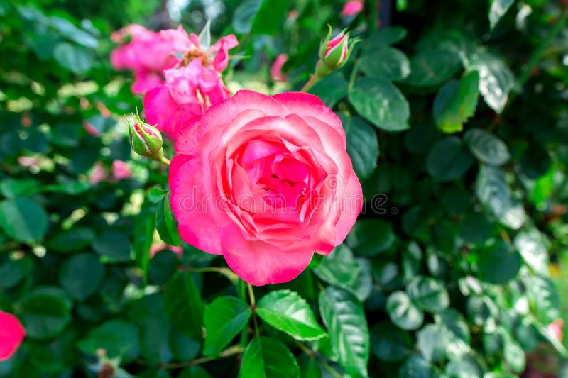Pink bud of a blooming rose. Pink bud of a blooming rose with green leaves, close up stock photography