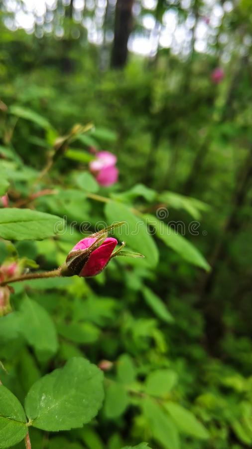 Pink Bud flowers of dog roses or rose hip on green leaves background close up stock images