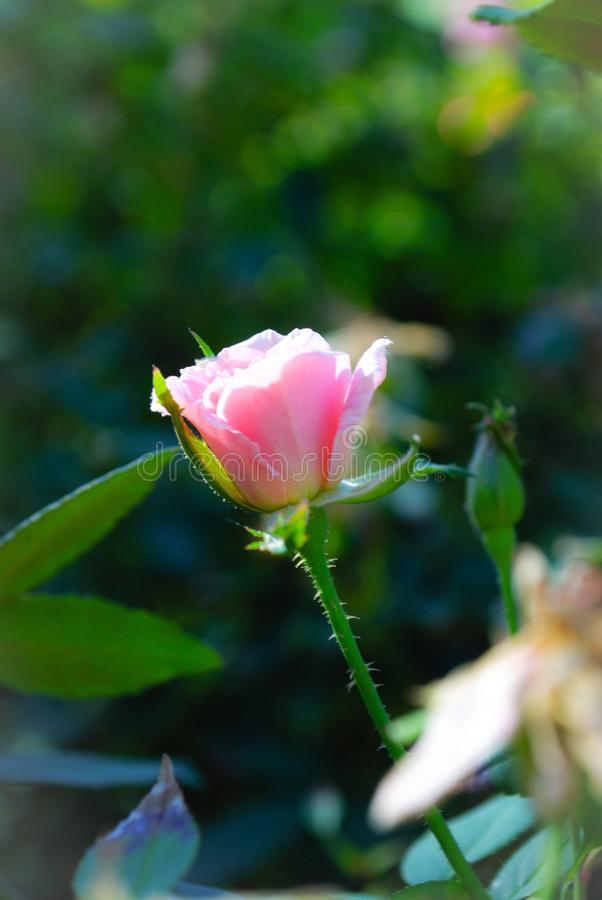 Pure. Pink bud opens up under clear summer sky stock image