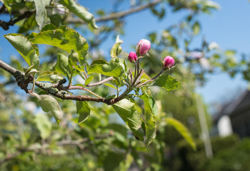 Pink budding apple tree. Closeup of the dark pink buds of an apple tree on a sunny day in the spring season royalty free stock photography