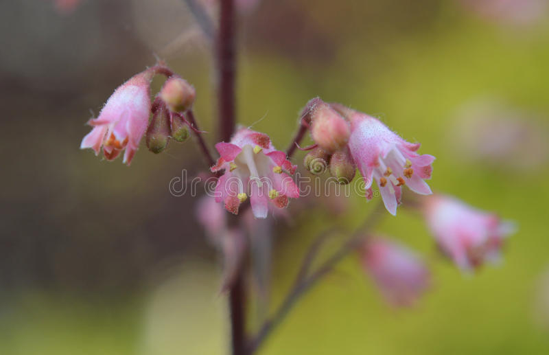 Pink buds stock photo