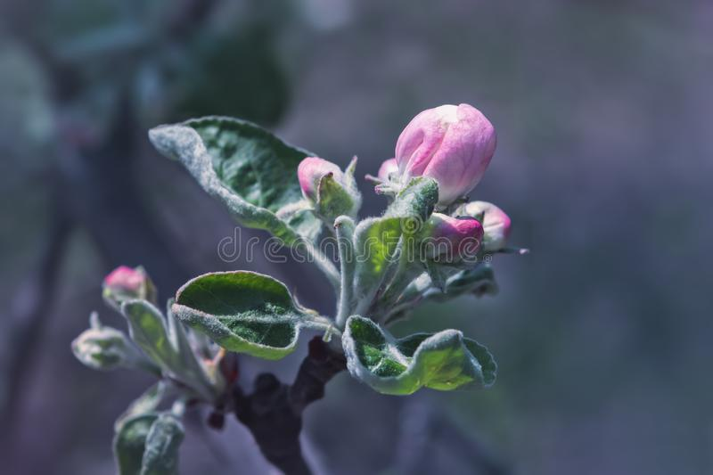 Pink Buds Of Springtime Apple Blossom Close-up. Pink buds of a blossoming apple tree close-up against a blurred  background. Selective focus, space for copy stock image