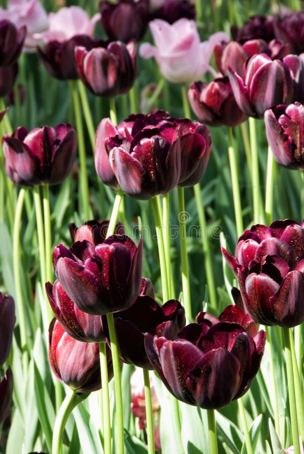Pink and Burgundy Colored Tulip Flowers in Bloom. Springtime garden filled with pink and burgundy colored tulip flowers. Tulips are spring blooming perennial royalty free stock image