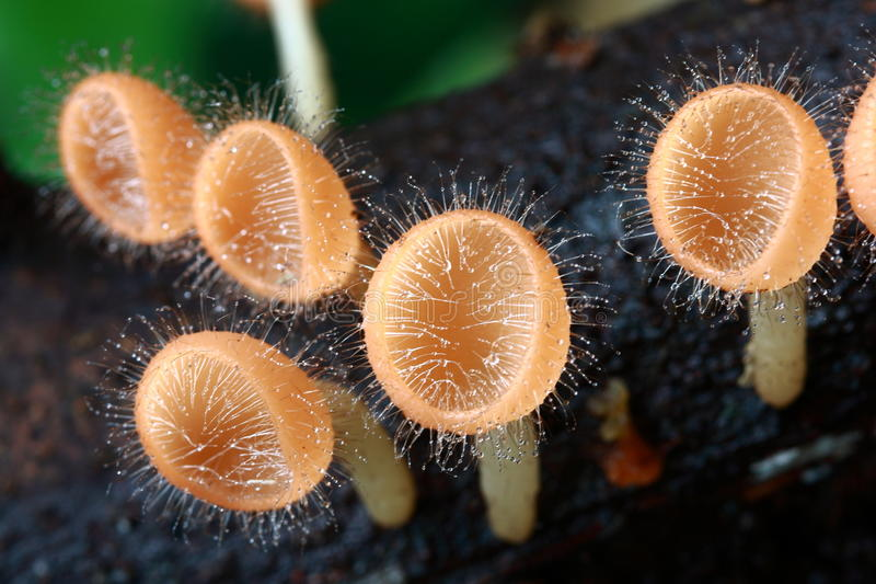 Download Pink Burn Cup, Fungi Cup stock photo. Image of close - 26231216