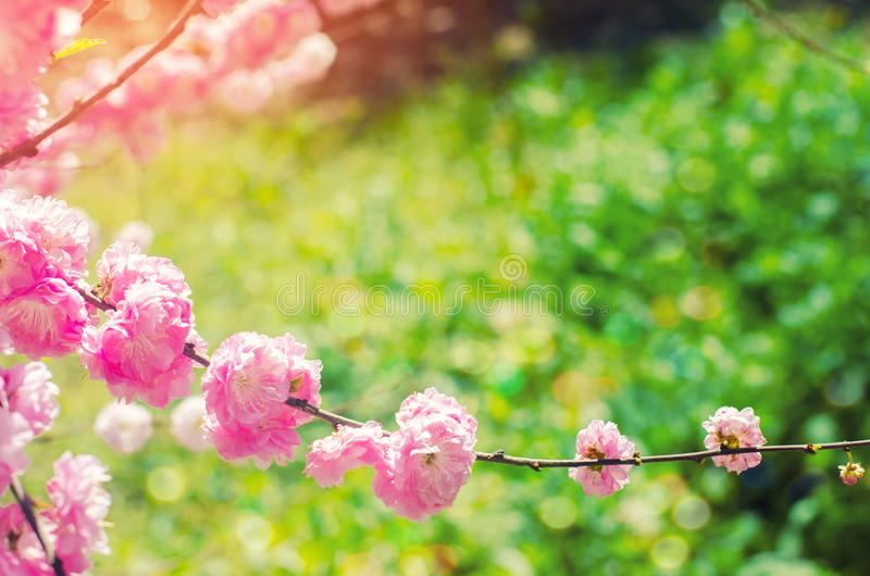 Pink bush blossoms in spring with pink flowers. natural wallpaper. concept of spring. background for design stock images
