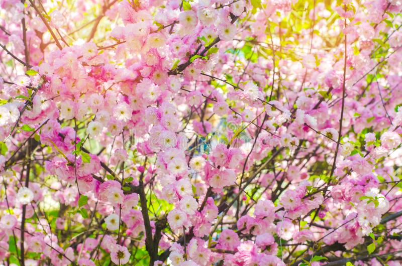 Pink bush blossoms in spring with pink flowers. natural wallpaper. concept of spring. background for design.  stock photos