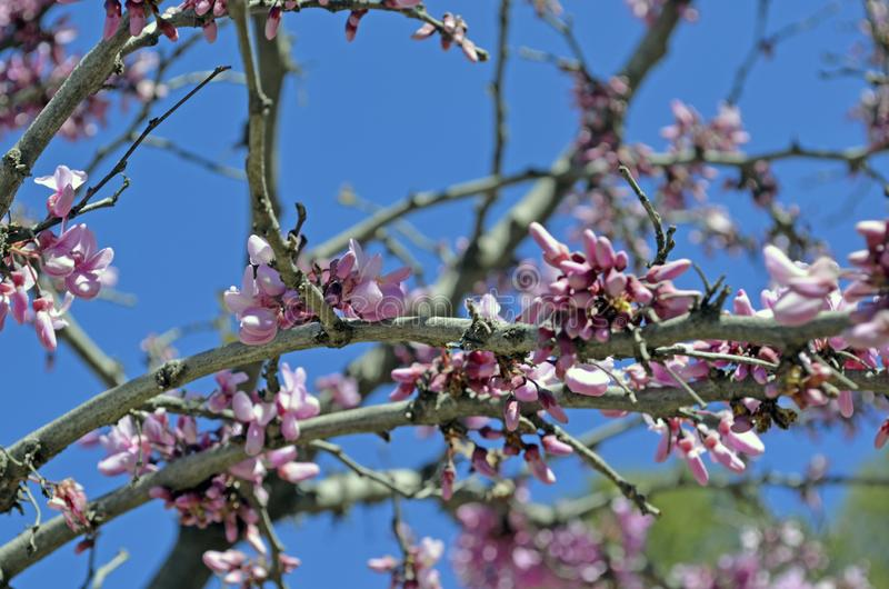 Pink bush blossoms in spring with pink flowers. stock photo