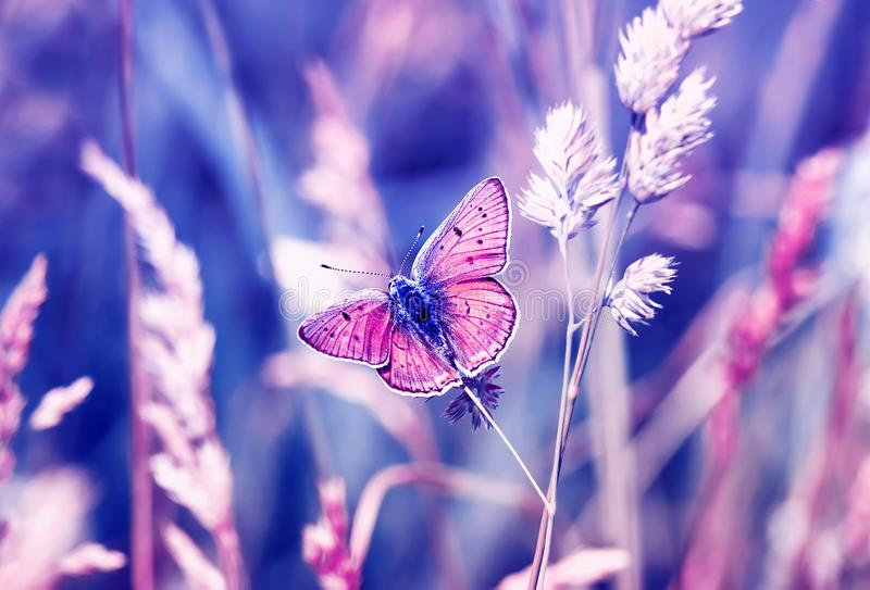 Pink butterfly, copper-butterfly sits on a Sunny summer meadow in pastel colours and warm light. Pink butterfly, copper-butterfly sits on a Sunny summer meadow stock photography