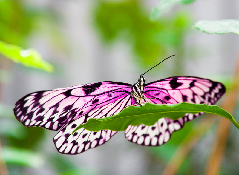 Download Pink Butterfly On Green Leaf Stock Photo - Image of decorate, africa: 7328264
