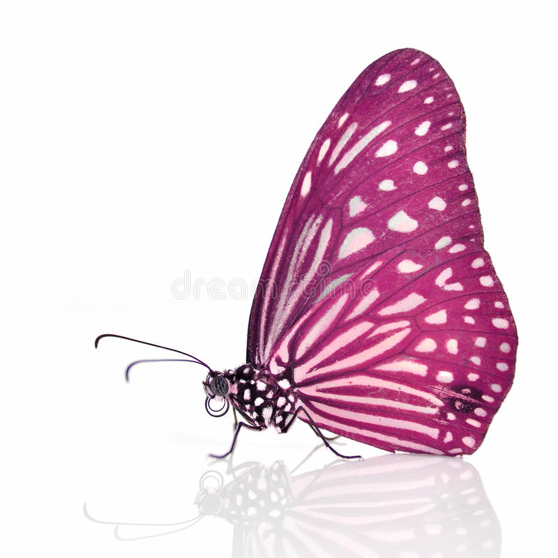 Download Pink Butterfly stock photo. Image of botanical, white - 33494266