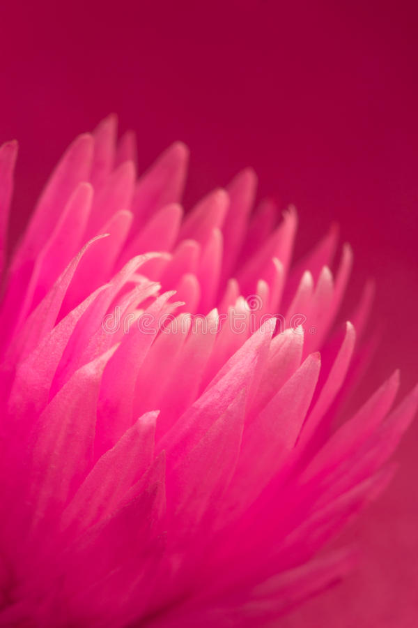 Pink cactus flower stock images