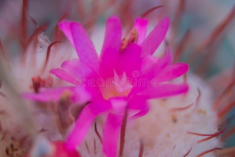 Pink cactus flower stock photo