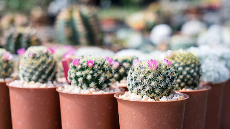 Pink cactus flower small cactus flower in cactus pots close up download pink cactus flower small cactus flower in cactus pots close up stock image mightylinksfo