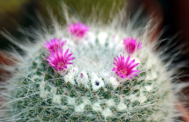 Pink Cactus Flowers