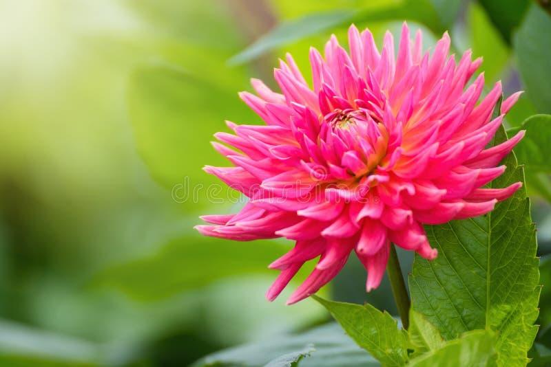 Pink cactus type dahlia flower in summer garden. stock images