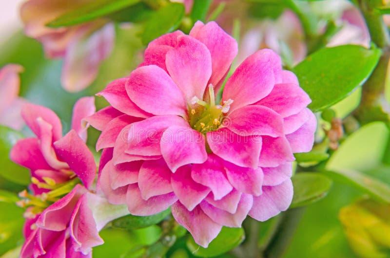 Pink Calandiva flowers, Kalanchoe, family Crassulaceae, close up, bokeh gradient background stock image